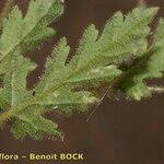 Erodium neuradifolium