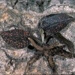 Cyclopogon olivaceus
