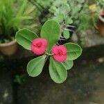 Euphorbia milii Flor