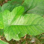 Cecropia obtusa