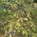 Prunus x fruticans Blad