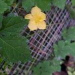 Momordica charantia Flower