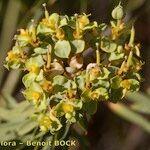 Euphorbia cupanii