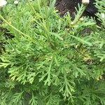 Argyranthemum haouarytheum