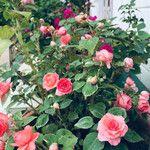 Camellia japonica Kukka
