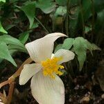 Begonia handelii