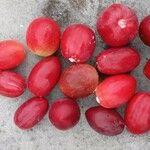 Carissa macrocarpa Fruit
