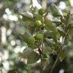 Croton niveus