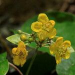 Stigmaphyllon mackeeanum