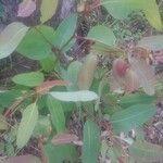 Eucalyptus camaldulensis 葉