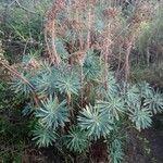 Euphorbia characias Feuille