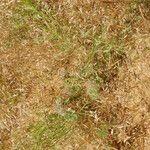 Corynephorus divaricatus