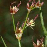 Juncus heterophyllus