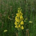 Linaria angustissima