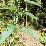 Chromolaena laevigata