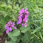 Betonica macrantha