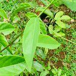 Passiflora ambigua Leaf