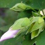 Lavatera phoenicea
