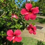 Hibiscus rosa-sinensis Cvet