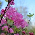 Rhododendron albrechtii