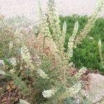 Reseda alba Flor