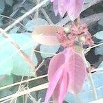 Landolphia heudelotii