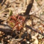 Commiphora samharensis Leaf