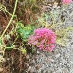 Centranthus ruber Flower