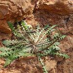 Crepis leontodontoides