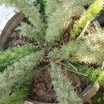 Asparagus densiflorus Other