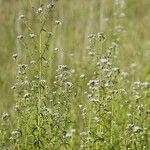 Chromolaena ivifolia