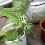 Euphorbia graminea