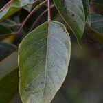 Hancea integrifolia
