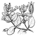 Erythranthe moschata
