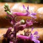 Cuphea epilobiifolia