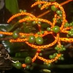 Chamaedorea undulatifolia