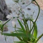 Allium neapolitanum Leaf