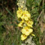 Verbascum macrurum