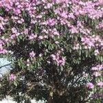 Tibouchina arborea