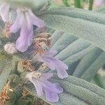 Ajuga integrifolia
