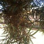 Podocarpus falcatus Leht