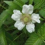 Rubus illecebrosus