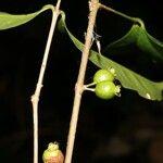 Tournefortia bicolor