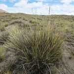 Festuca dolichophylla