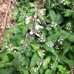 Circaea lutetiana Flower