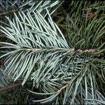 Cathaya argyrophylla