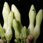 Allomarkgrafia plumeriiflora