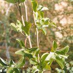 Adenia lobata