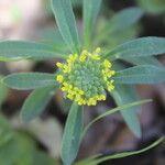Alyssum granatense