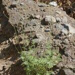 Lavandula coronopifolia